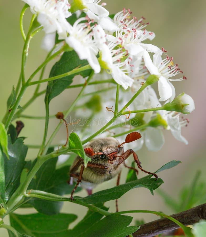 Abejorro debajo de las flores del whitethorn imagenes de archivo