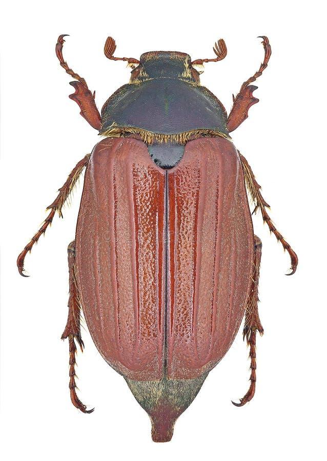 Abejorro del melolontha del Melolontha imagen de archivo