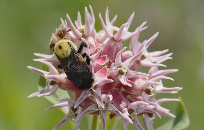 Abejorro en la flor del milkweed fotos de archivo