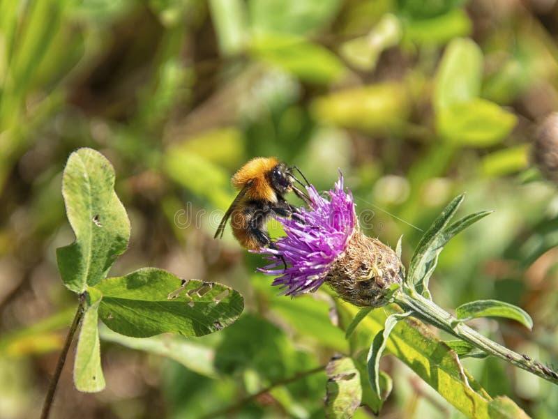 Abejorro en las flores foto de archivo