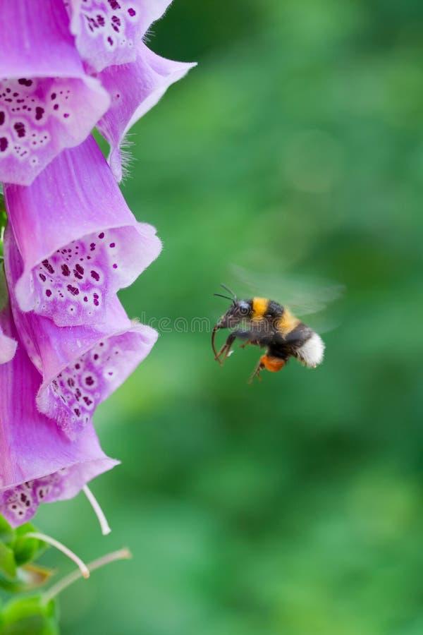 Abejorro en vuelo cerca de una flor de la digital imagenes de archivo