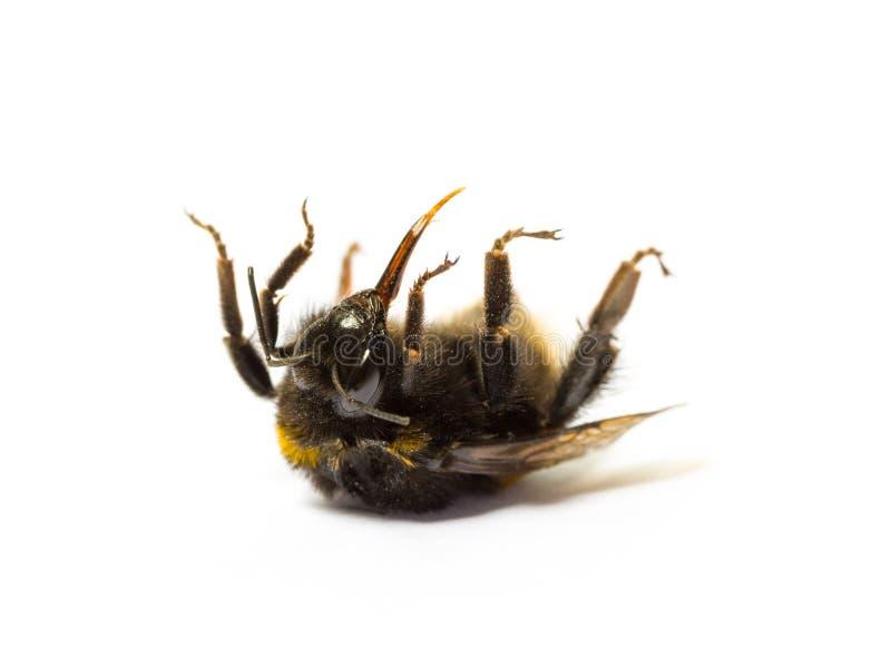 Abejorro muerto que miente en ella detrás aislada en el fondo blanco Muerte del insecto y concepto de la protección del environme fotografía de archivo libre de regalías