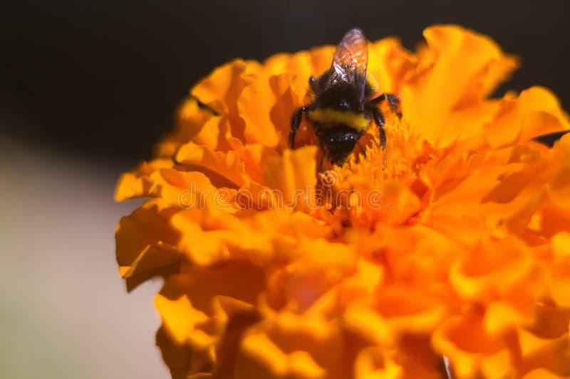 Abejorro negro en la inflorescencia de las negro-gallinas en el jardín botánico La flor es muy rica y brillante Polinización de imagen de archivo libre de regalías