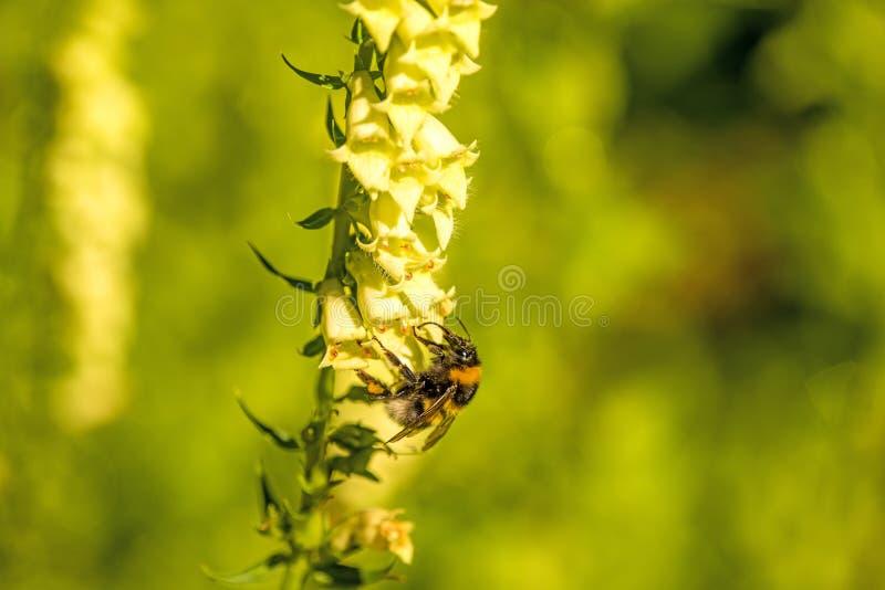 abejorro Piel de ante-atado en dedalera amarilla fotografía de archivo