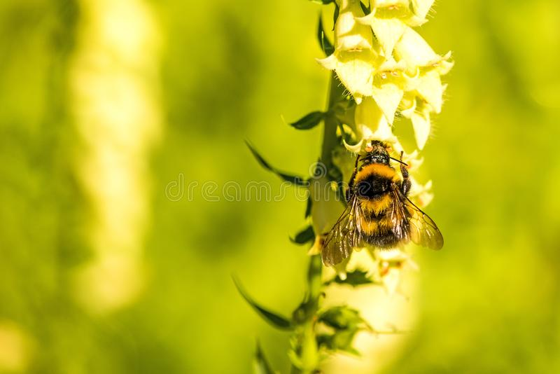 abejorro Piel de ante-atado en dedalera amarilla imagen de archivo libre de regalías