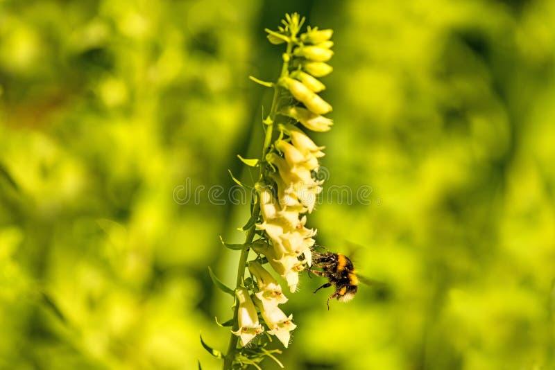 abejorro Piel de ante-atado en dedalera amarilla foto de archivo