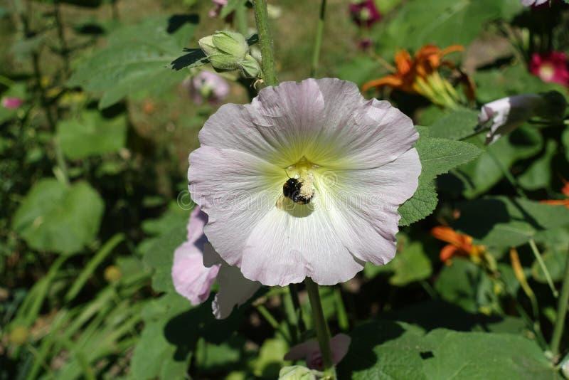 Abejorro que poliniza la flor blanca rosácea de la malvarrosa común foto de archivo libre de regalías