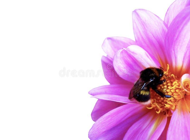 Abejorro que poliniza la flor rosada, dalia floreciente en el jardín, aislado en el fondo blanco imagen de archivo libre de regalías