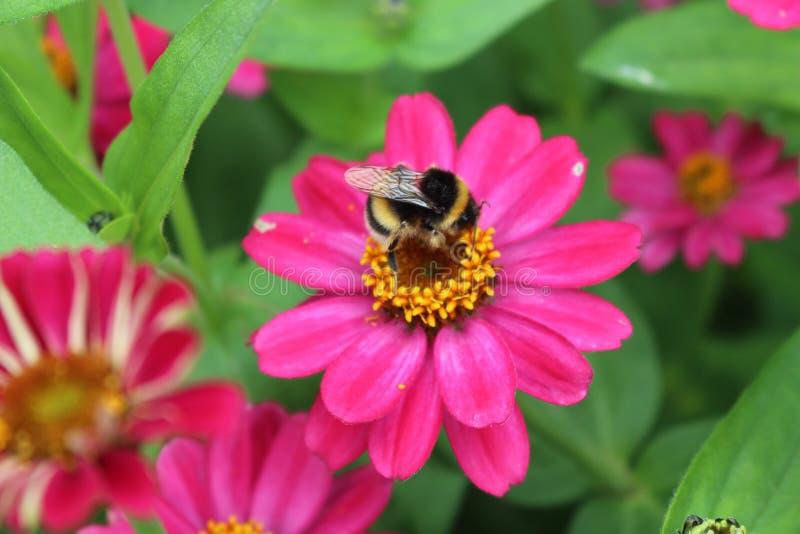 Abejorro que poliniza una flor rosada en un jardín imagenes de archivo
