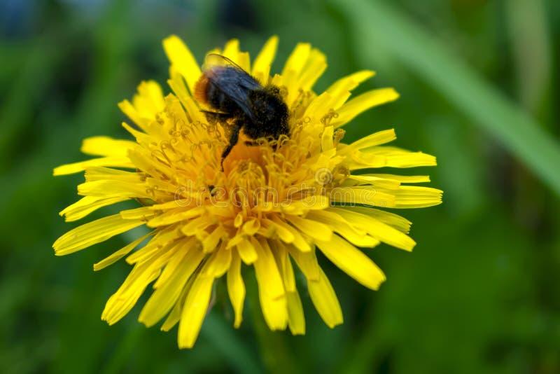 Abejorro que se sienta en un primer amarillo de la flor del diente de león con un fondo borroso fotos de archivo libres de regalías