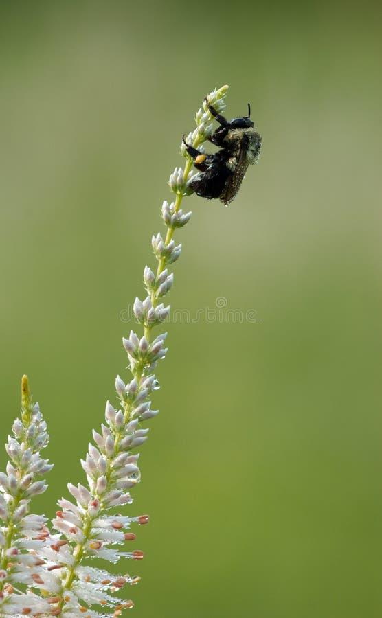 abejorro Rocío-cubierto en el sol de la madrugada foto de archivo