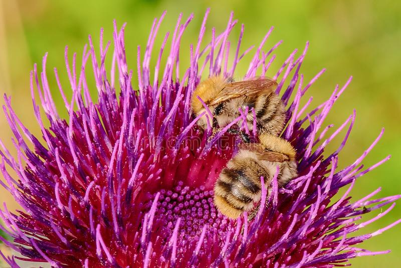 Abejorros en la flor violeta del cardo - primer fotografía de archivo libre de regalías