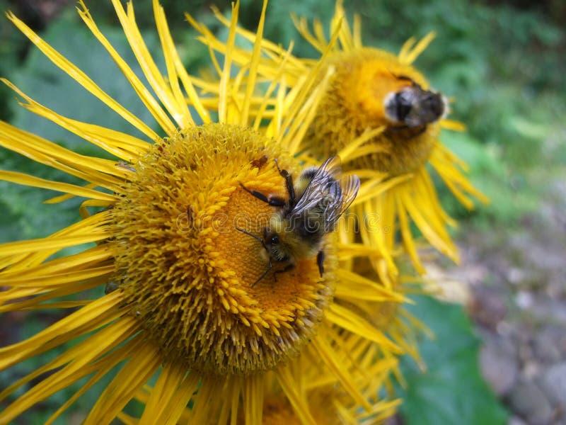Abejorros en una flor foto de archivo libre de regalías