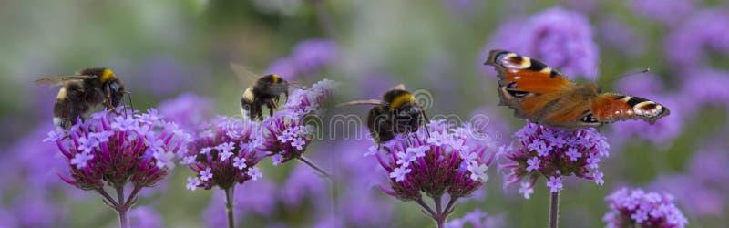 Abejorros y mariposa en la flor del jardín imagen de archivo