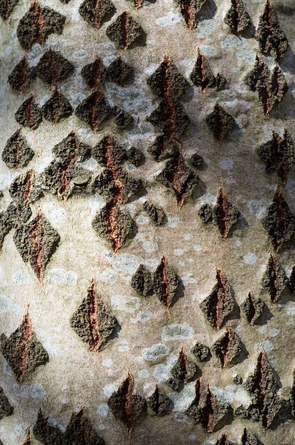 Abele-Baumrinde oder Rhytidome-Beschaffenheits-Detail lizenzfreie stockfotos