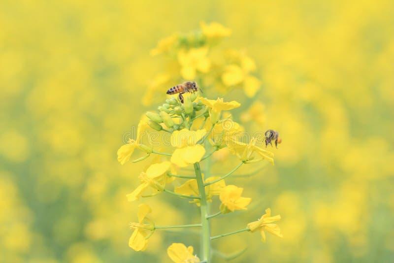 A abelha é o polinizador que o maior nós temos na natureza fotos de stock royalty free