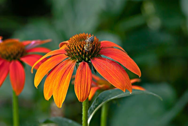 Abelha alaranjada da flor do cone imagem de stock royalty free