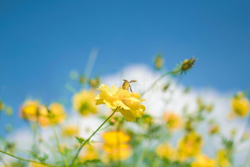 Abelha amarela pequena e flor amarela grande com fundo do céu azul imagem de stock