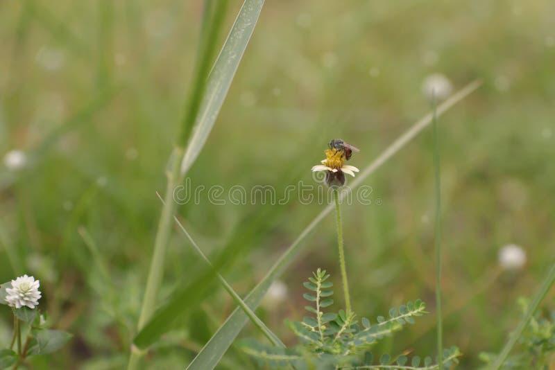 A abelha come o mel imagem de stock