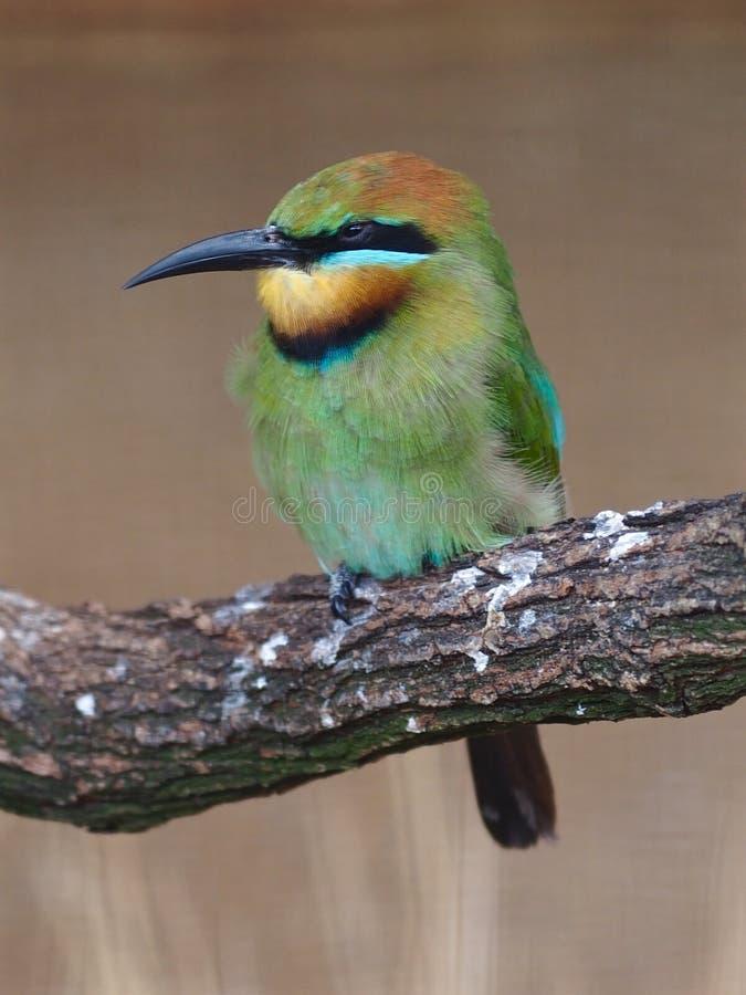 Abelha-comedor de encantamento do arco-íris com plumagem vibrante foto de stock
