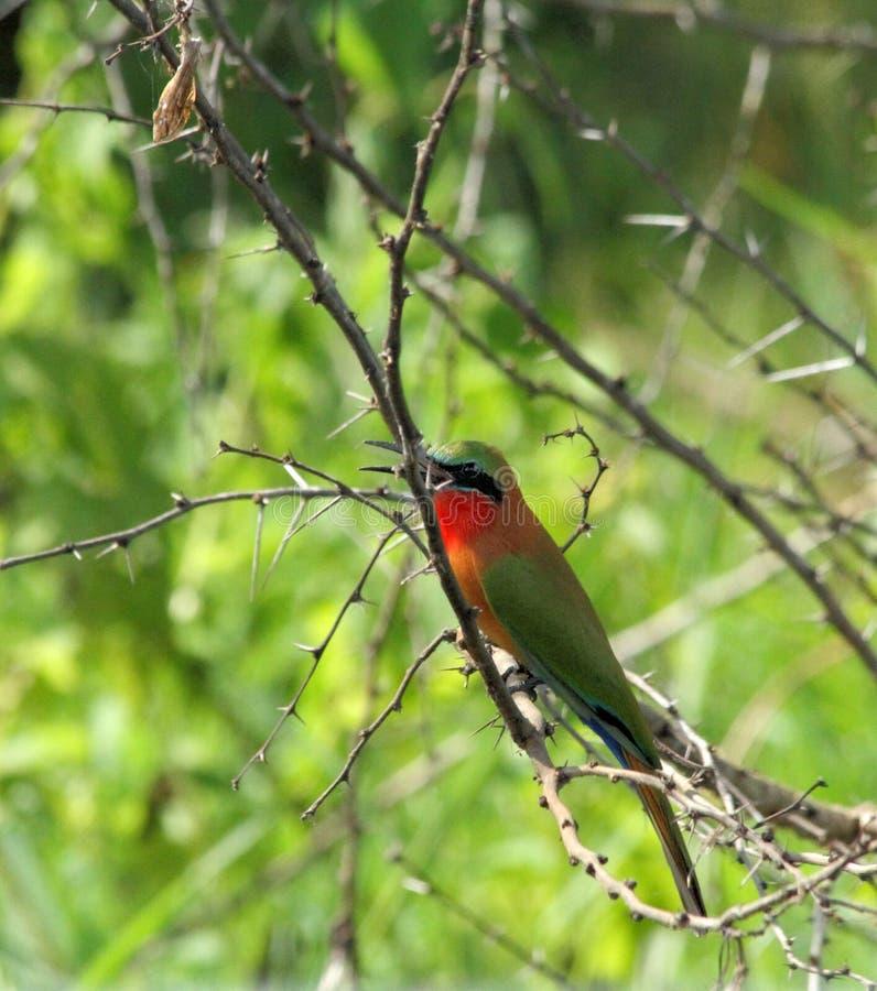 Abelha-comedor em um ramo de árvore espinhoso foto de stock