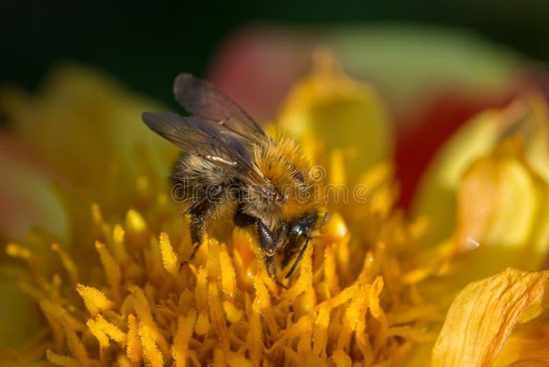 Abelha de Leafcutter na flor amarela e vermelha foto de stock
