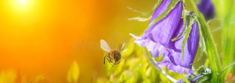 abelha de voo do mel perto da flor de sino azul no fundo dourado do por do sol da mola Vista panorâmica com espaço da cópia fotografia de stock
