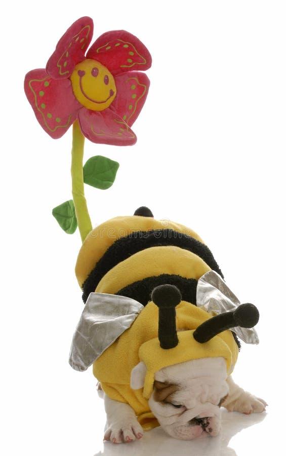 Abelha do cão que pollinating uma flor fotografia de stock royalty free