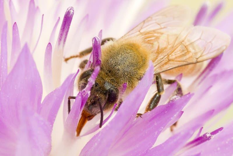 A abelha do Close-up na flor coleta o néctar fotos de stock royalty free