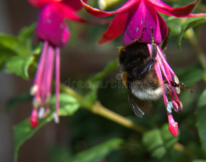 Abelha do jardim (Bombus Hortorum) com fuschia fotografia de stock royalty free