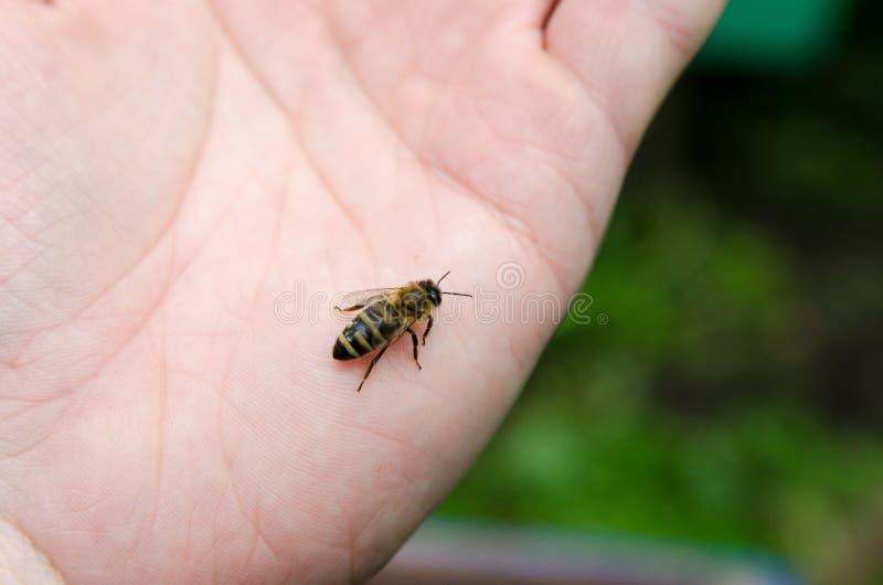 A abelha do mel foto de stock