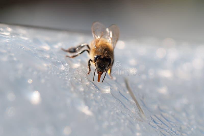 A abelha do mel, bebe a água na superfície branca imagens de stock royalty free