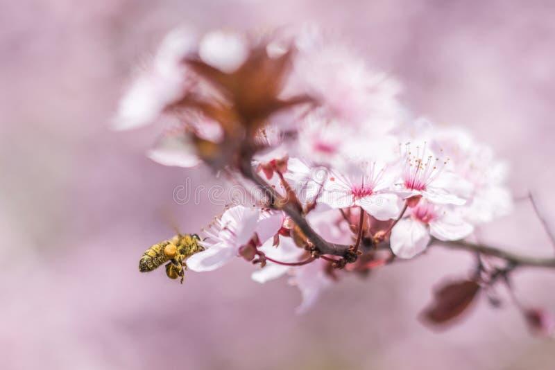 Abelha do mel com as cestas que voam e que polinizam flores cor-de-rosa da cereja imagens de stock royalty free