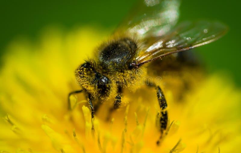 Abelha do mel e dente-de-leão amarelo ensolarado Cart?o da mola imagem de stock