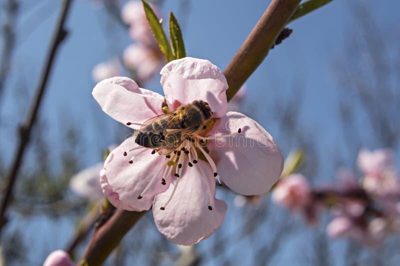 Abelha do mel em uma flor do pêssego fotos de stock royalty free