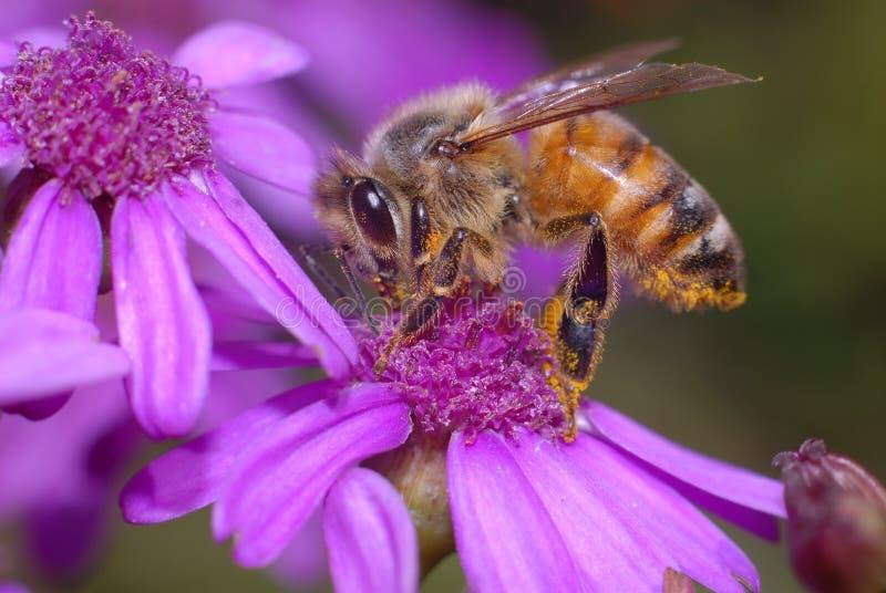 Abelha do mel na flor do Cineraria fotografia de stock royalty free