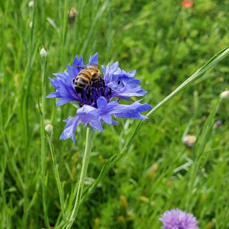 Abelha do mel na flor selvagem fotos de stock
