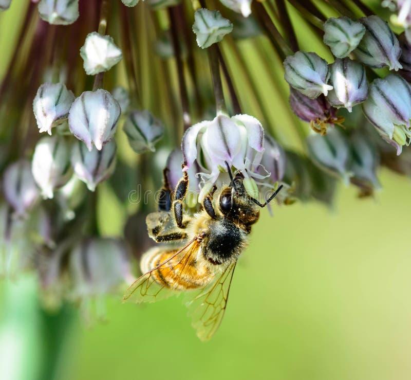 Abelha do mel no conjunto de flor foto de stock royalty free