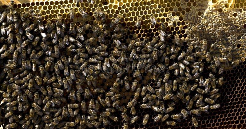 Abelha do mel no favo de mel fotos de stock