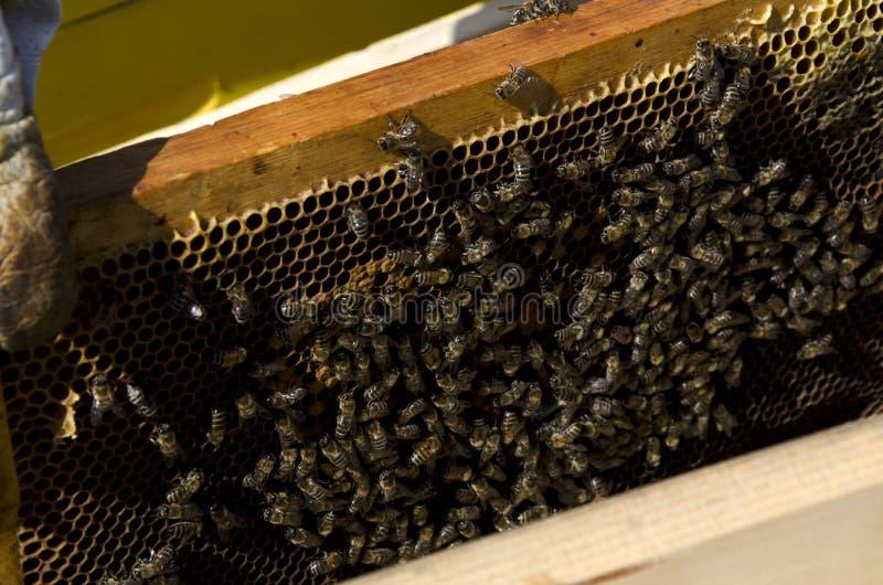 Abelha do mel no favo de mel foto de stock royalty free