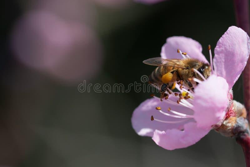 A abelha do mel poliniza a flor do pêssego no fundo do céu azul fotos de stock royalty free