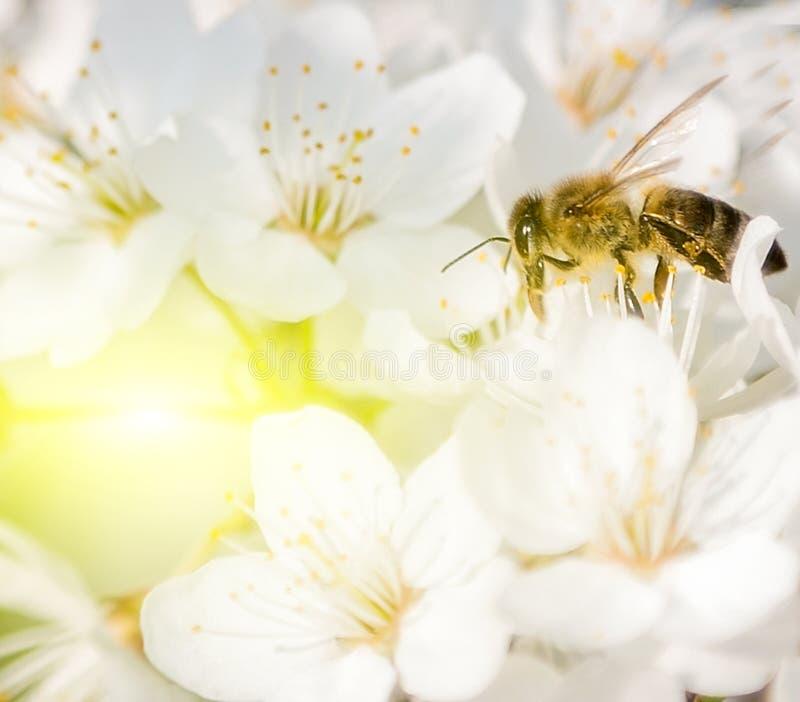 abelha do mel do por do sol imagens de stock royalty free