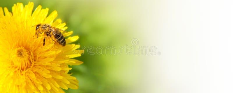 Abelha do mel que coleta o néctar da flor do dente-de-leão. imagem de stock royalty free