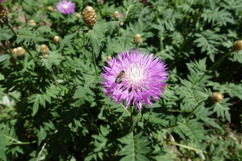Abelha do mel que poliniza a flor do dealbata do Centaurea fotos de stock
