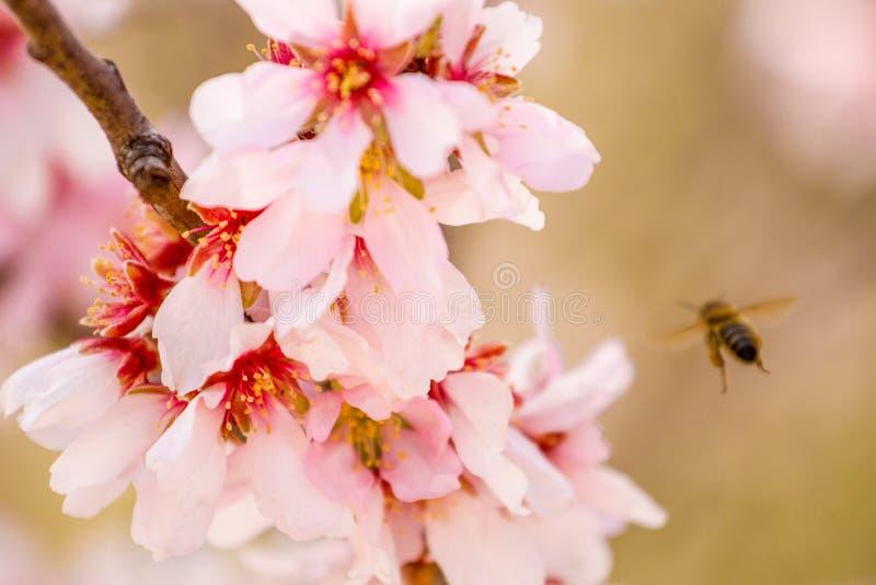 A abelha do mel que recolhe o pólen da árvore de amêndoa floresce imagens de stock
