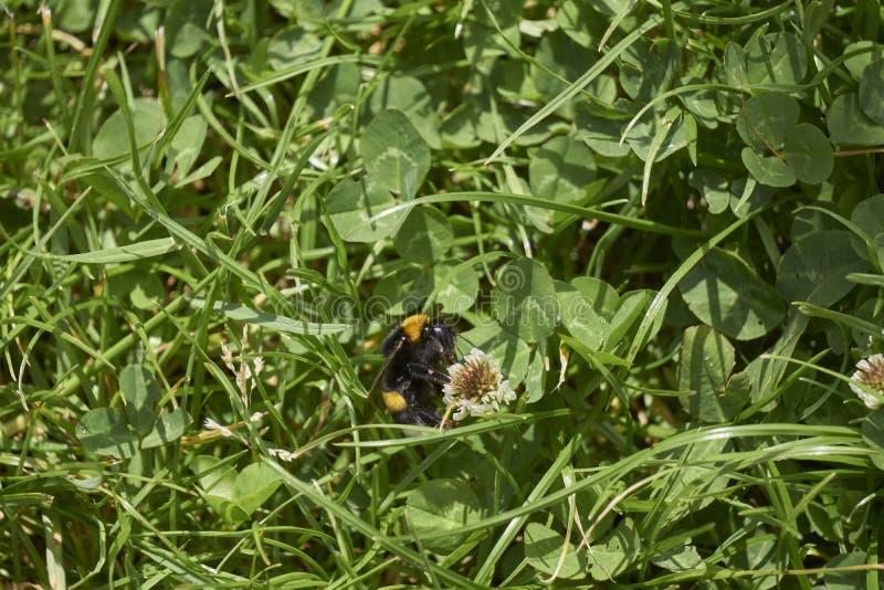 Abelha do mel que senta-se na flor minúscula da margarida cercada pelo campo de grama fotografia de stock