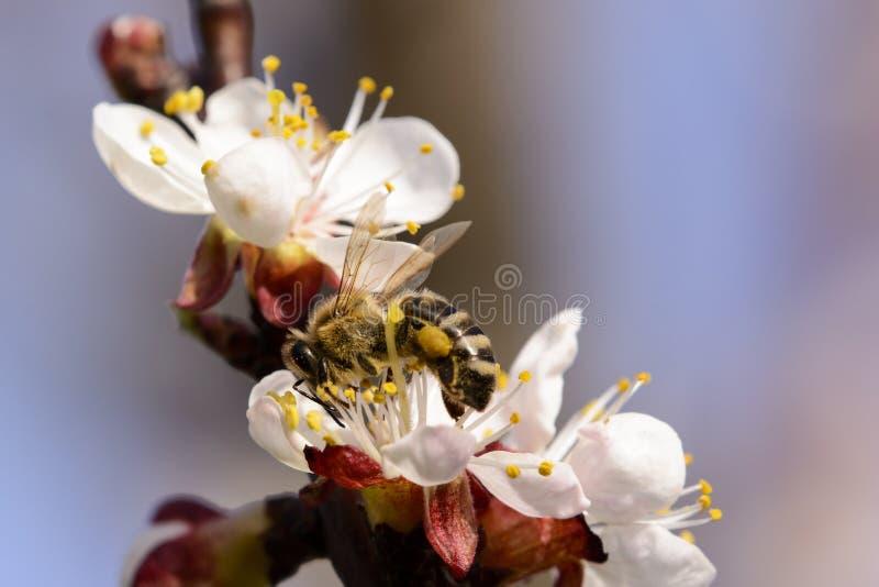 Abelha do mel que trabalha na flor do abricó imagem de stock