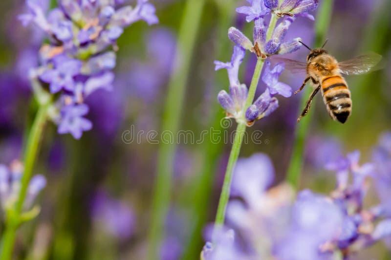 Abelha do mel que visita as flores da alfazema e que recolhe a polinização ascendente próxima do pólen fotografia de stock