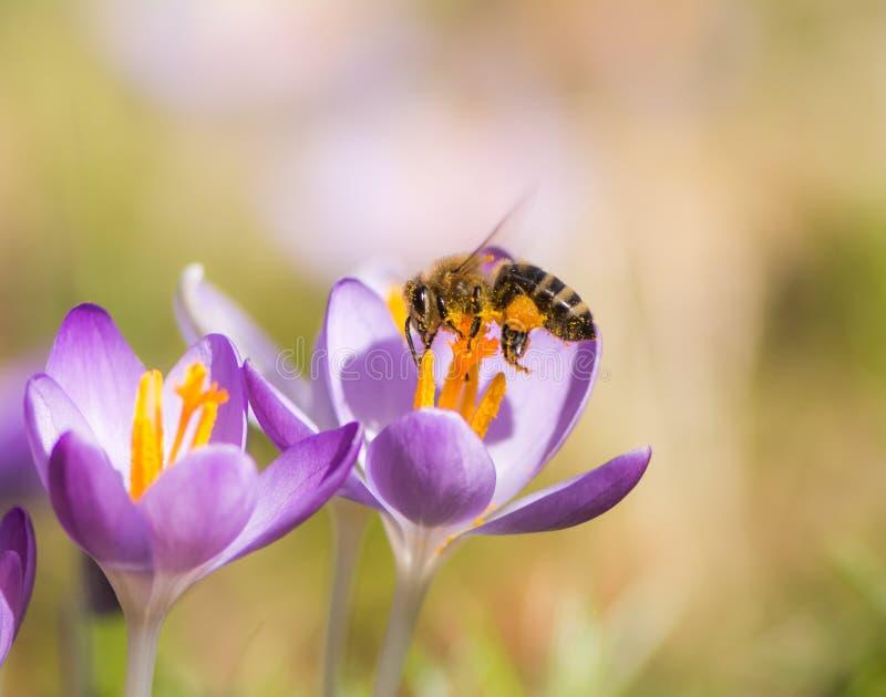 Abelha do voo que poliniza uma flor roxa do açafrão fotografia de stock royalty free
