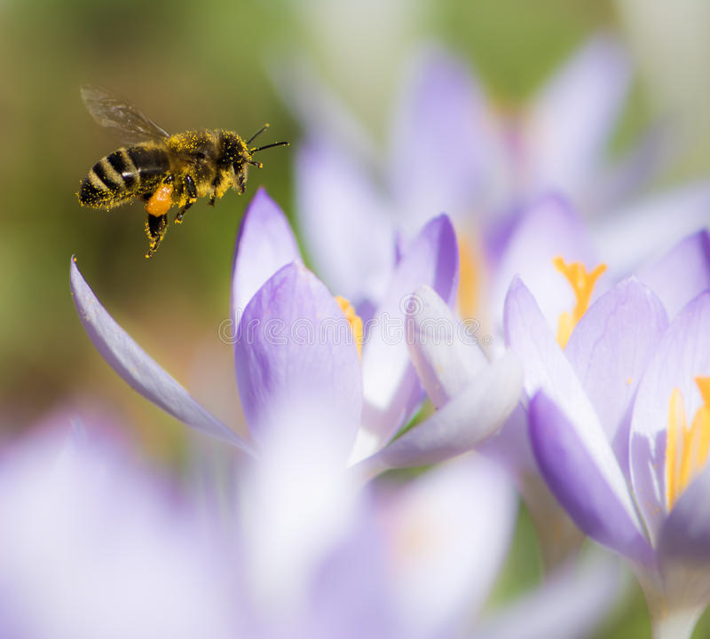Abelha do voo que poliniza uma flor roxa do açafrão imagens de stock